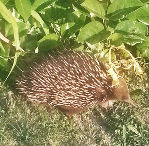 Butterscotch the echidna turned up in our front yard last year